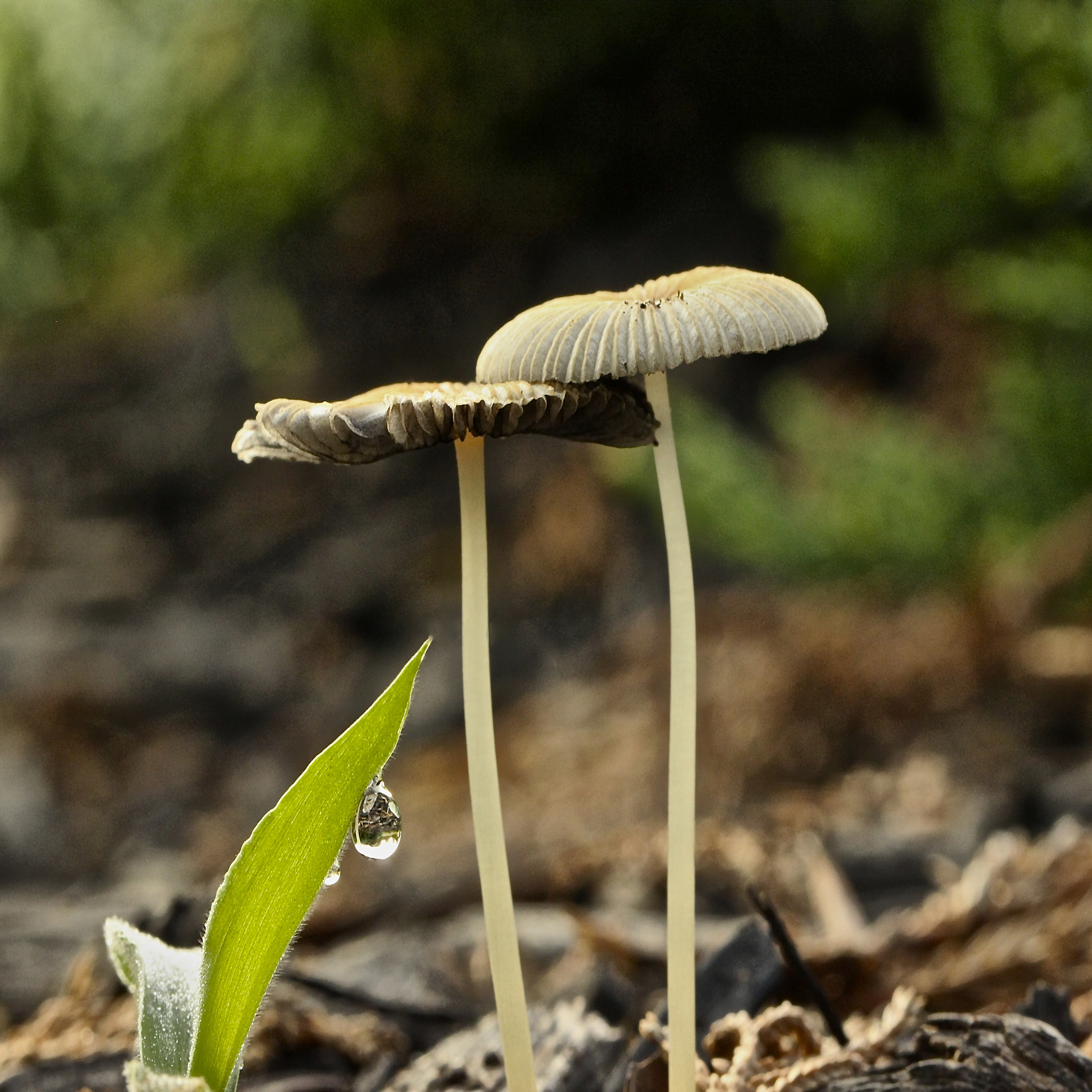 Drop In Mushrooms