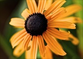 Yellow Sunflower_opt